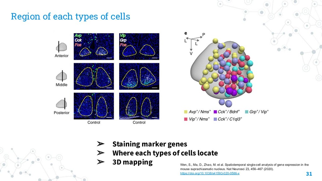 Region of each types of cells 31 ➢ Staining mar...