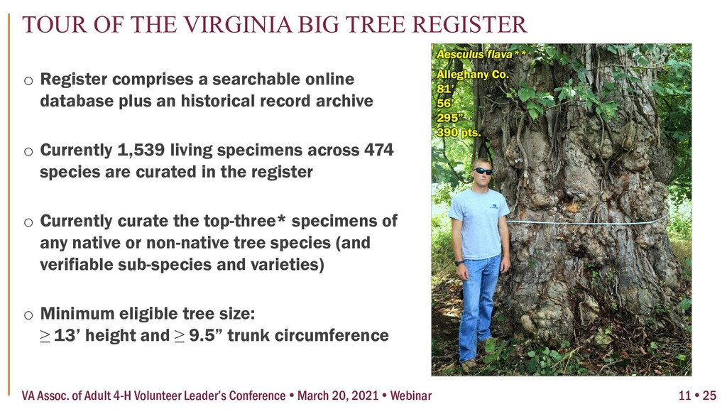 """Aesculus flava** Alleghany Co. 81' 56' 295"""" 390..."""