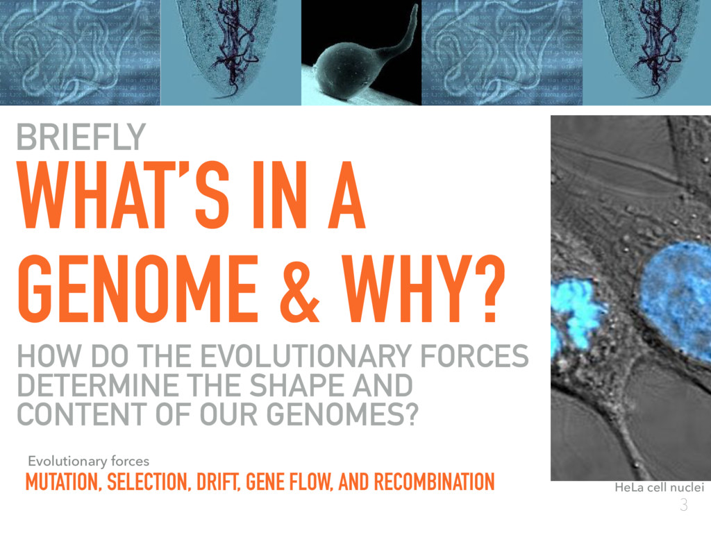 3 WHAT'S IN A GENOME & WHY? HeLa cell nuclei BR...