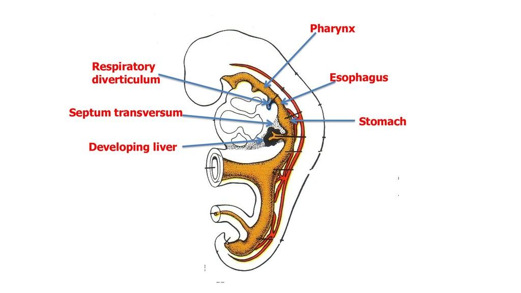 Pharynx Respiratory diverticulum Esophagus Stom...