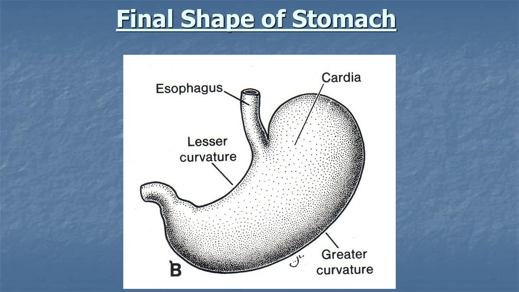Final Shape of Stomach