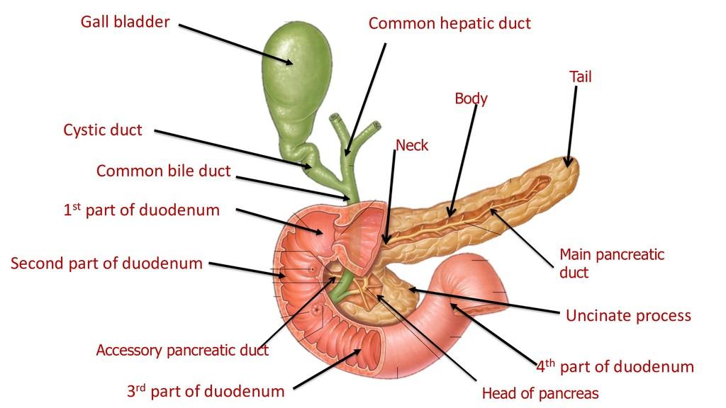 Head of pancreas Neck Body Tail Main pancreatic...