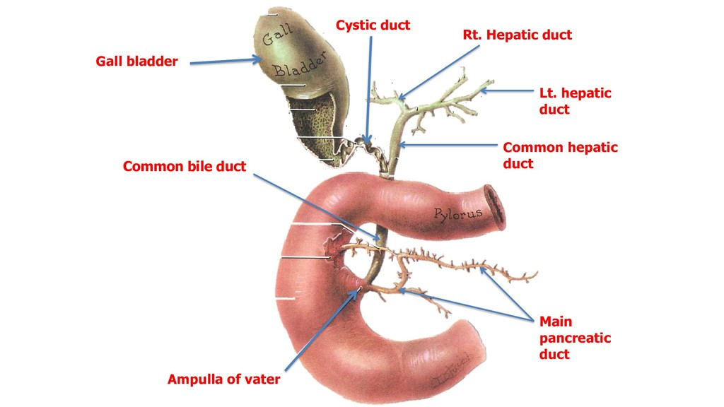 Gall bladder Cystic duct Rt. Hepatic duct Lt. h...