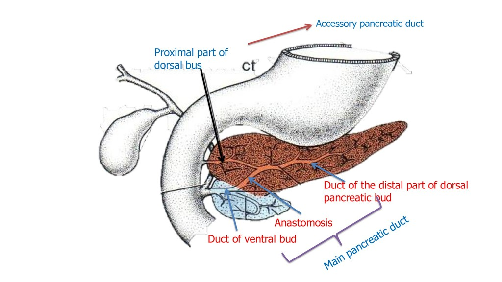 Duct of the distal part of dorsal pancreatic bu...