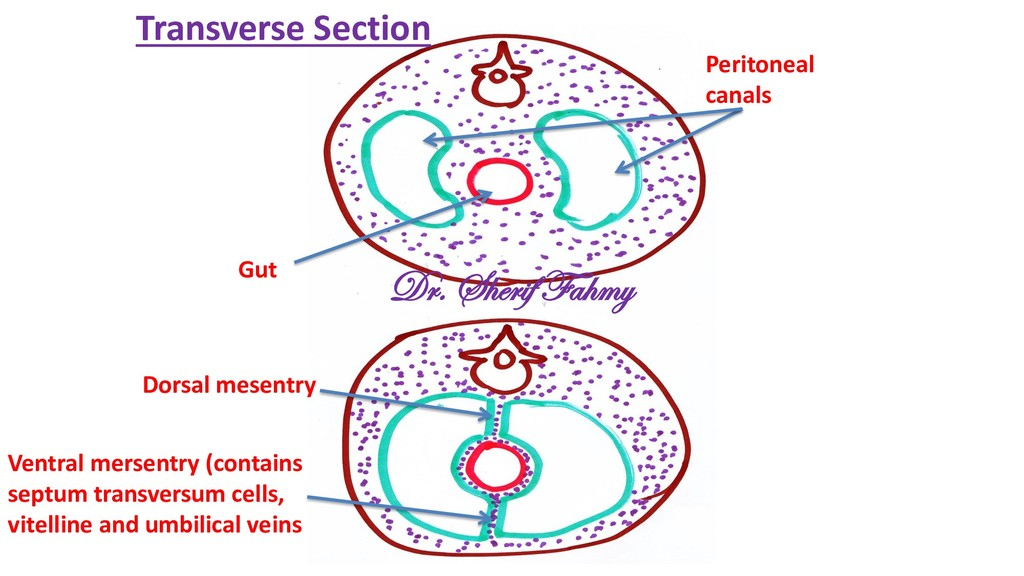 Peritoneal canals Gut Ventral mersentry (contai...