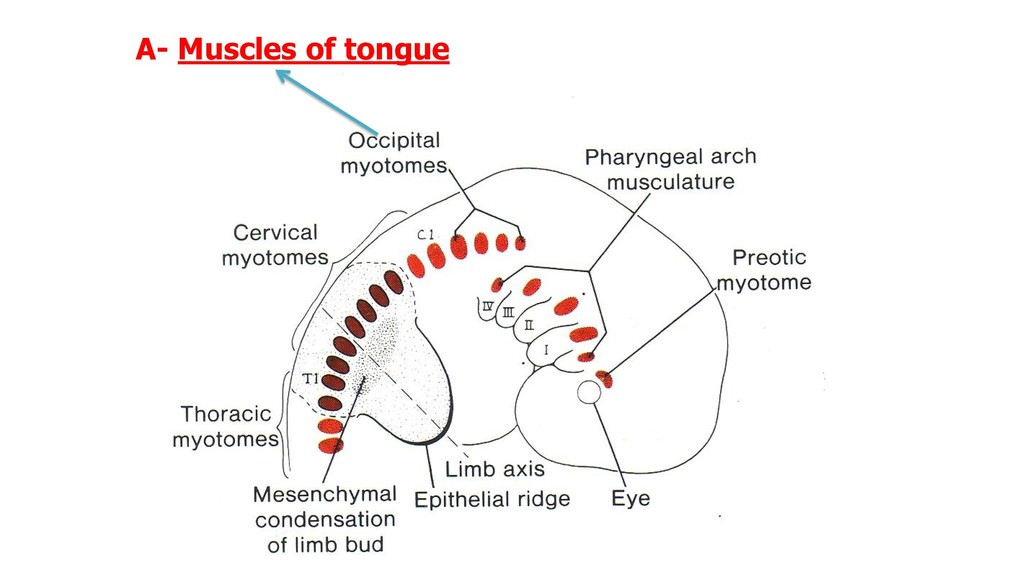 A- Muscles of tongue