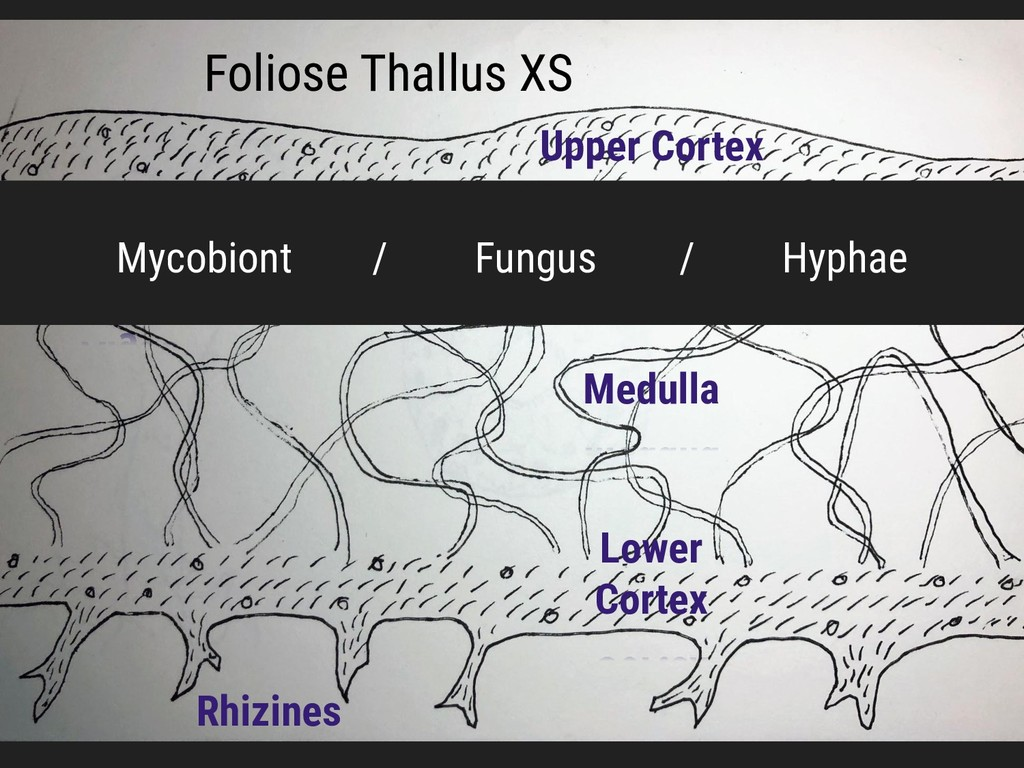 Foliose Thallus XS Upper Cortex Lower Cortex Me...
