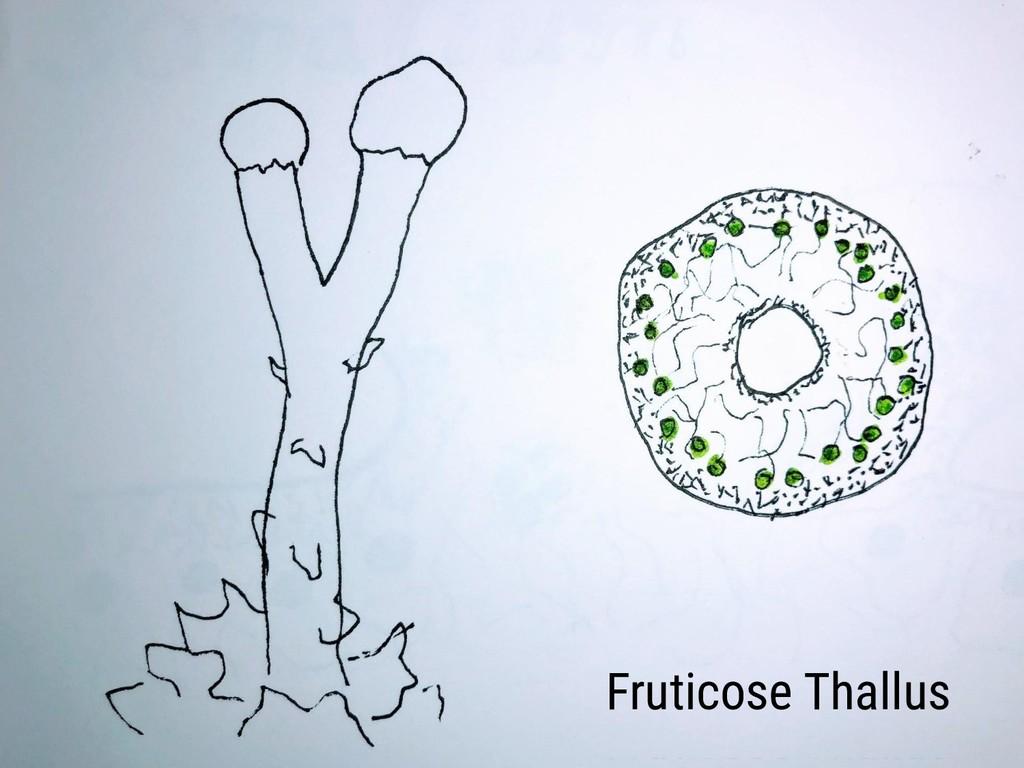 Fruticose Thallus