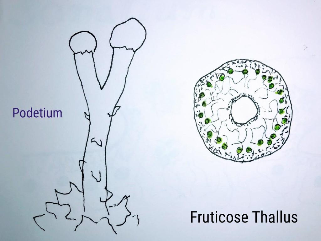 Fruticose Thallus Podetium