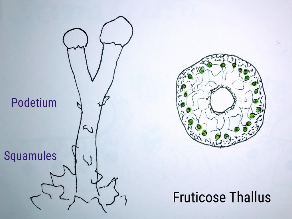 Fruticose Thallus Podetium Squamules