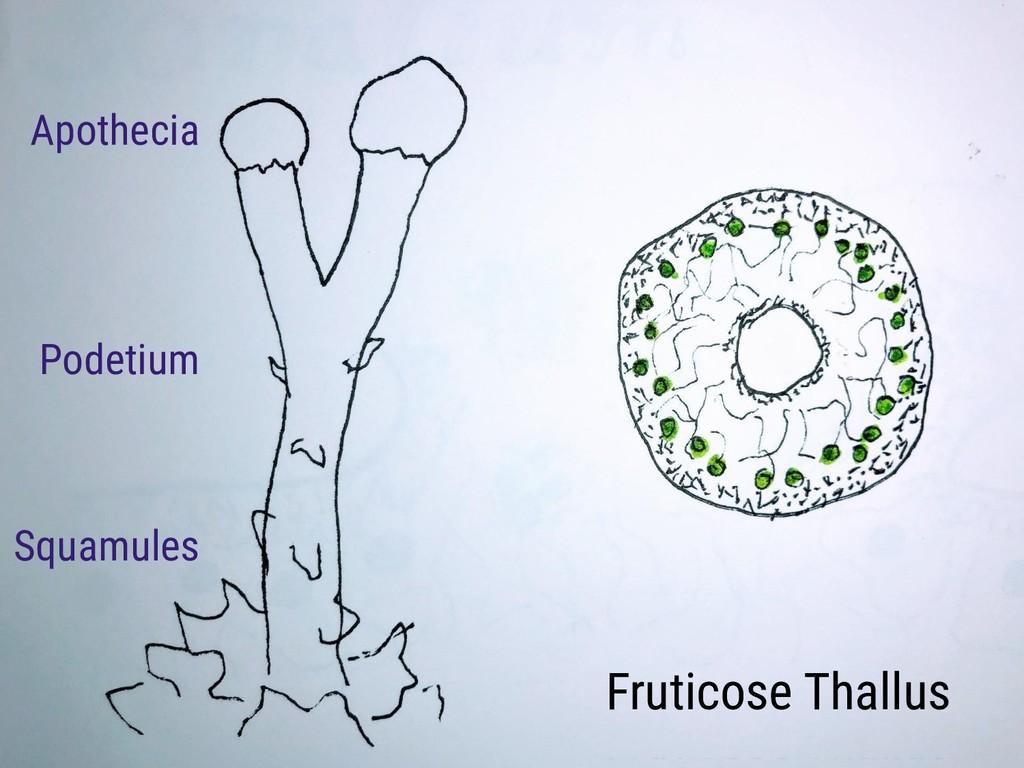 Fruticose Thallus Podetium Squamules Apothecia