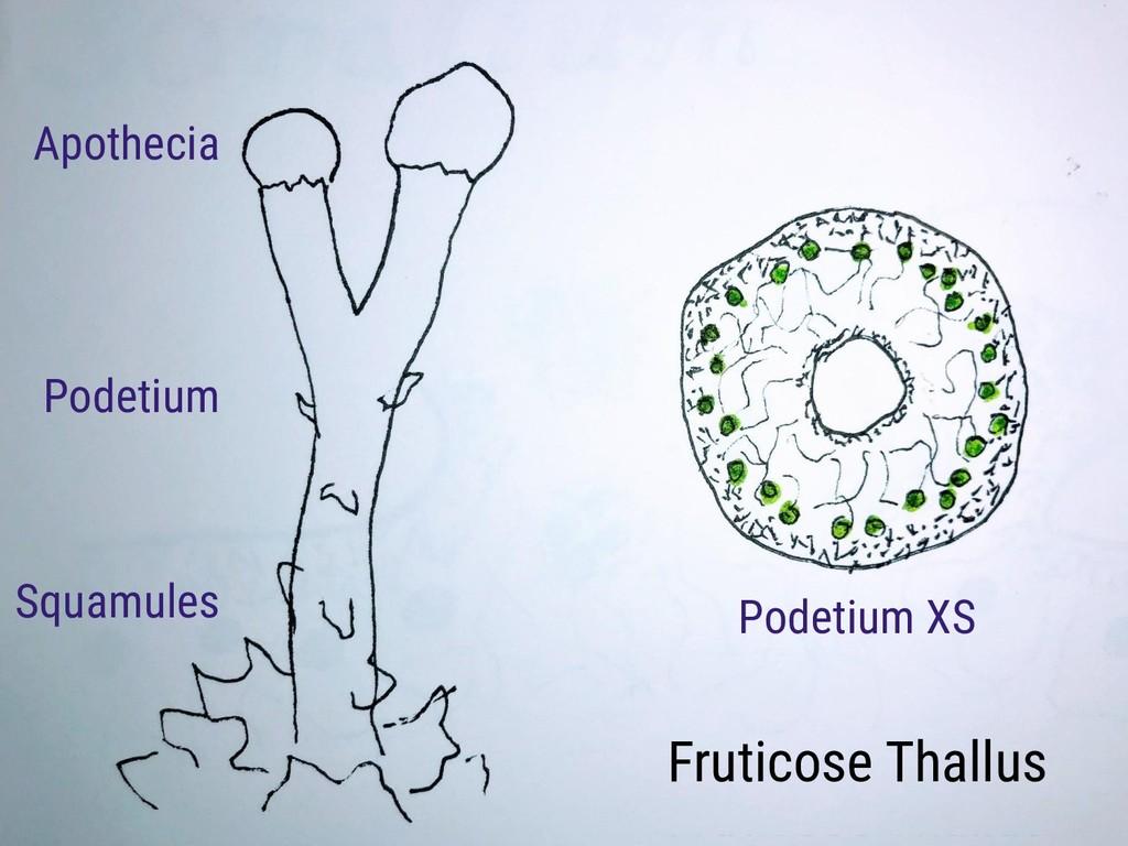 Fruticose Thallus Podetium Squamules Apothecia ...