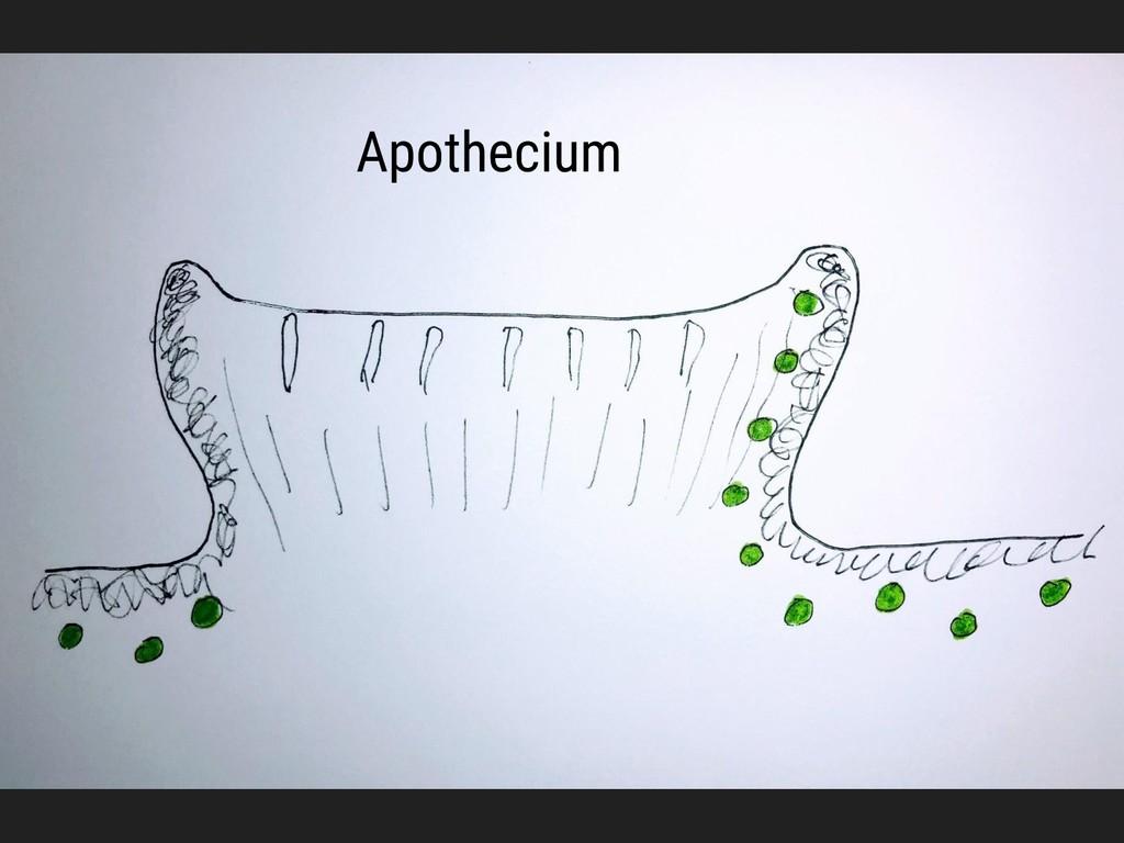 Apothecium