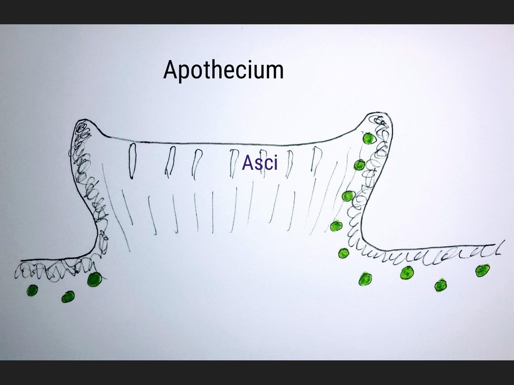Apothecium Asci