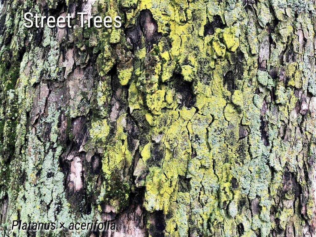 Street Trees Platanus × acerifolia