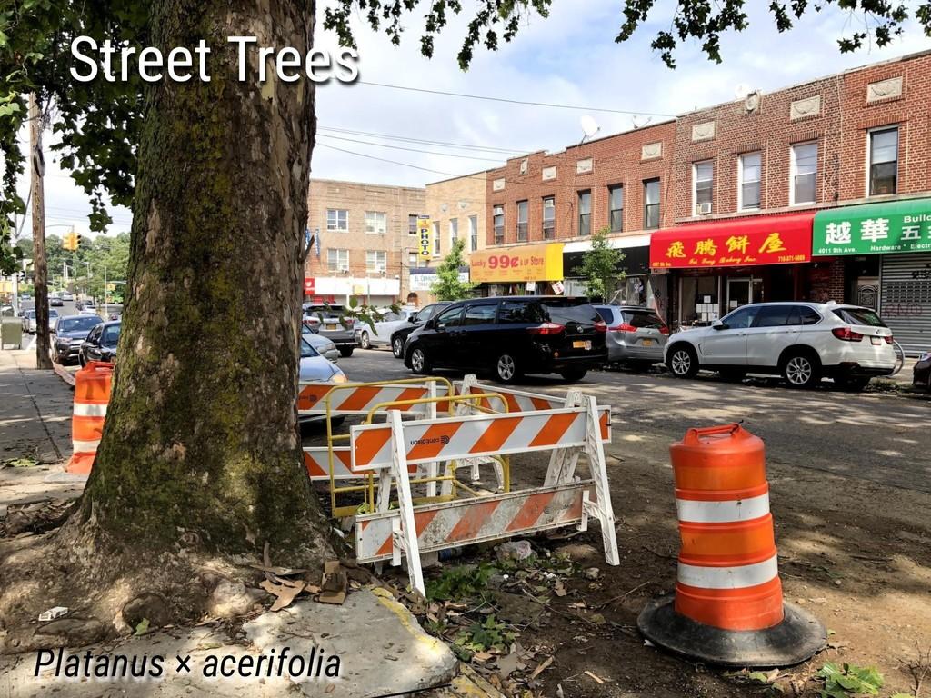 Platanus × acerifolia Street Trees