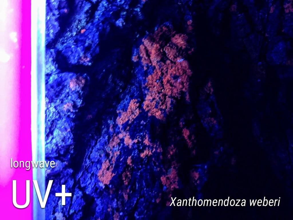 longwave UV+ Xanthomendoza weberi