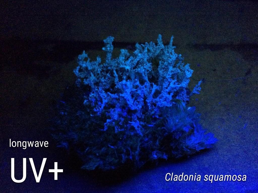 longwave UV+ Cladonia squamosa