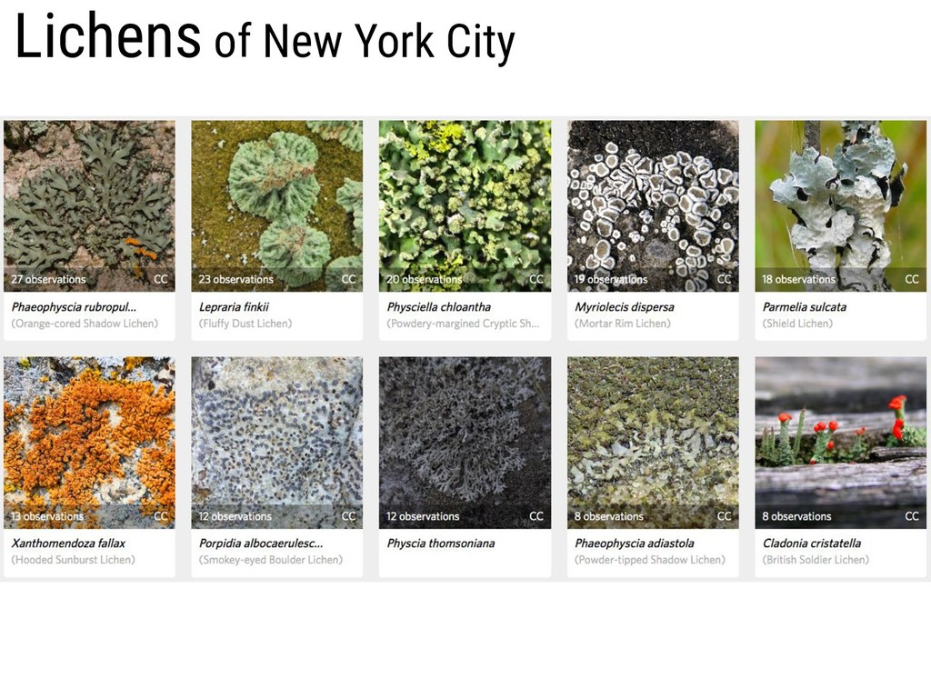 Lichens of New York City