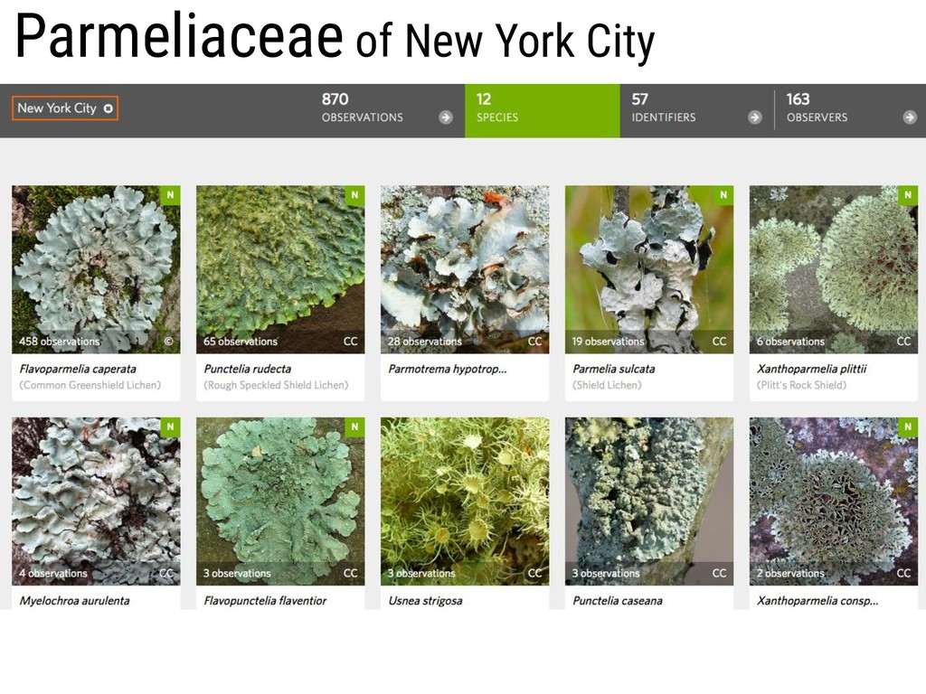 Parmeliaceae of New York City