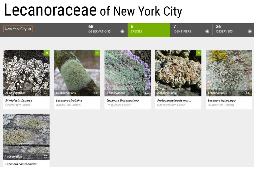 Lecanoraceae of New York City