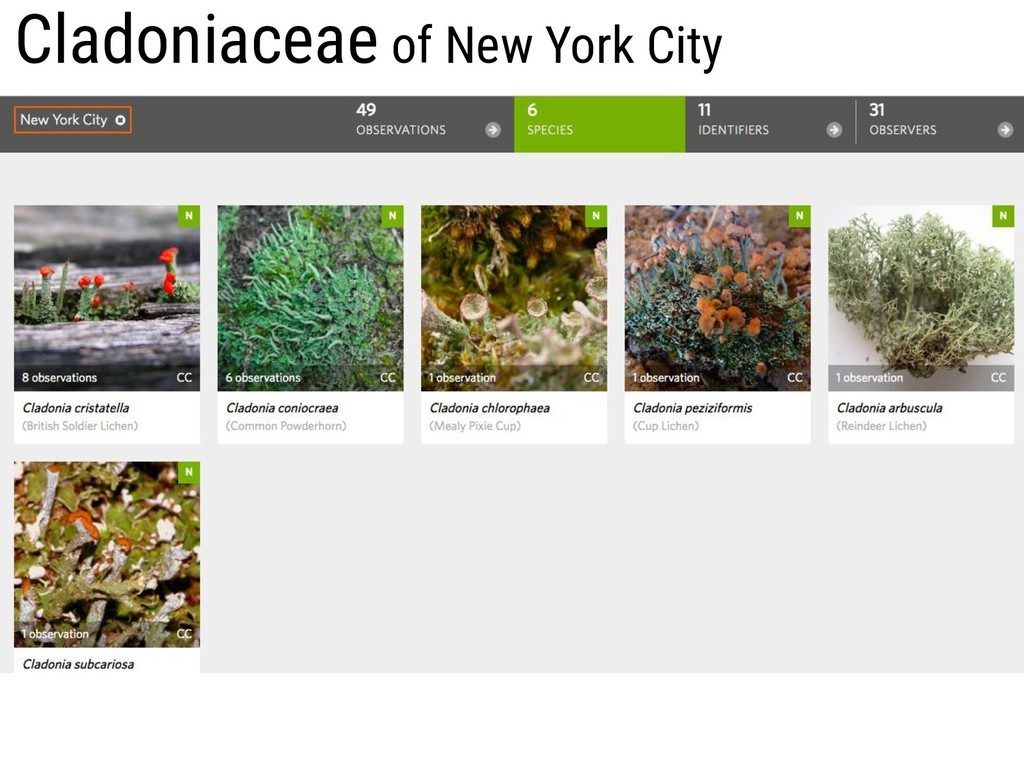 Cladoniaceae of New York City
