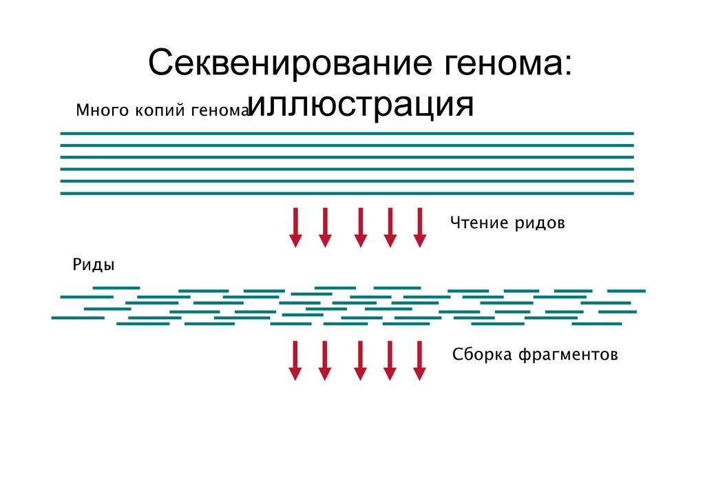 Секвенирование генома: иллюстрация Много копий ...