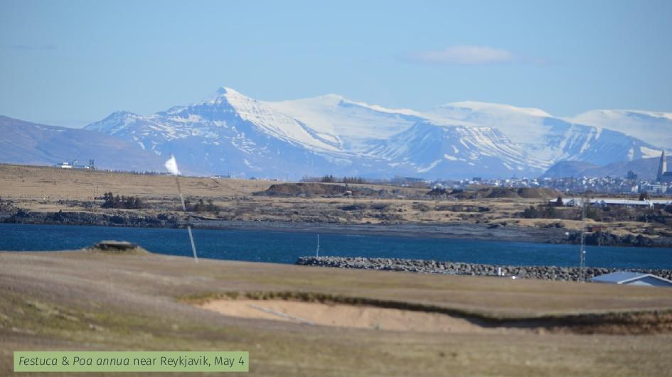 Festuca & Poa annua near Reykjavik, May 4