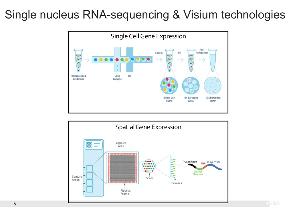 Single nucleus RNA-sequencing & Visium technolo...