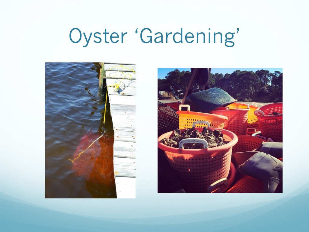 Oyster 'Gardening'