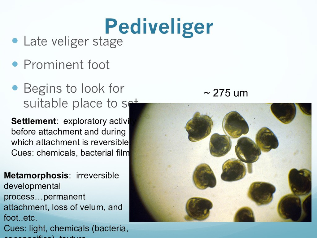 Pediveliger — Late veliger stage — Prominent fo...