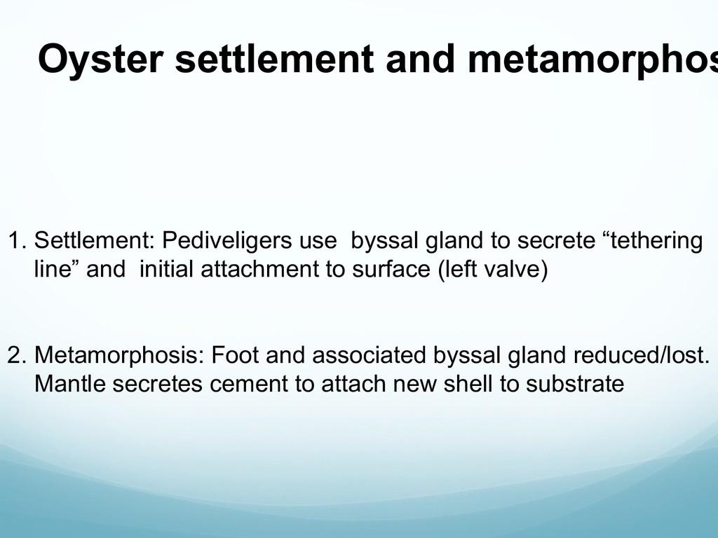 Oyster settlement and metamorphos 1. Settlement...