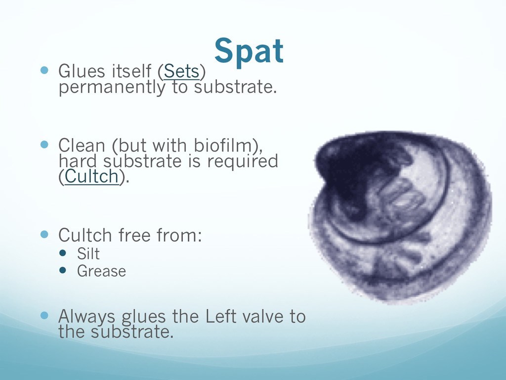 Spat — Glues itself (Sets) permanently to subst...