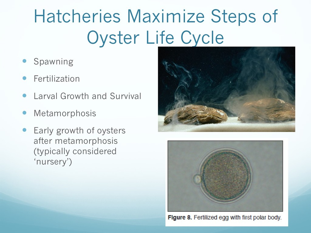 Hatcheries Maximize Steps of Oyster Life Cycle ...