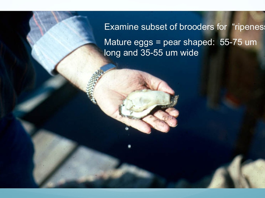 Fat Oyster Photo #1 Examine subset of brooders ...