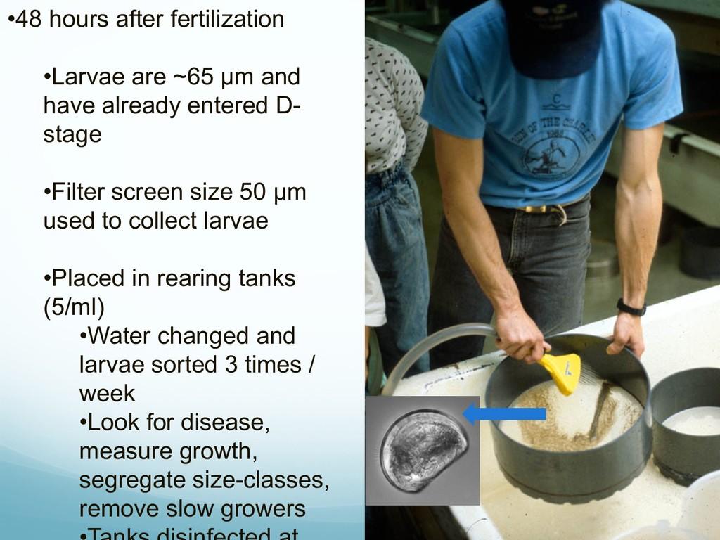 •48 hours after fertilization •Larvae are ~65 μ...