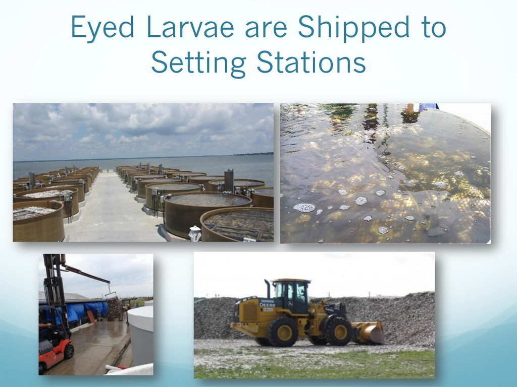 Eyed Larvae are Shipped to Setting Stations