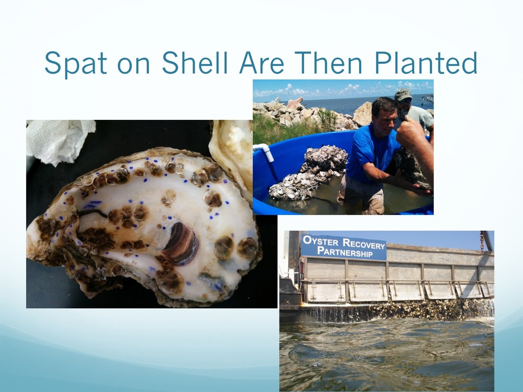 Spat on Shell Are Then Planted