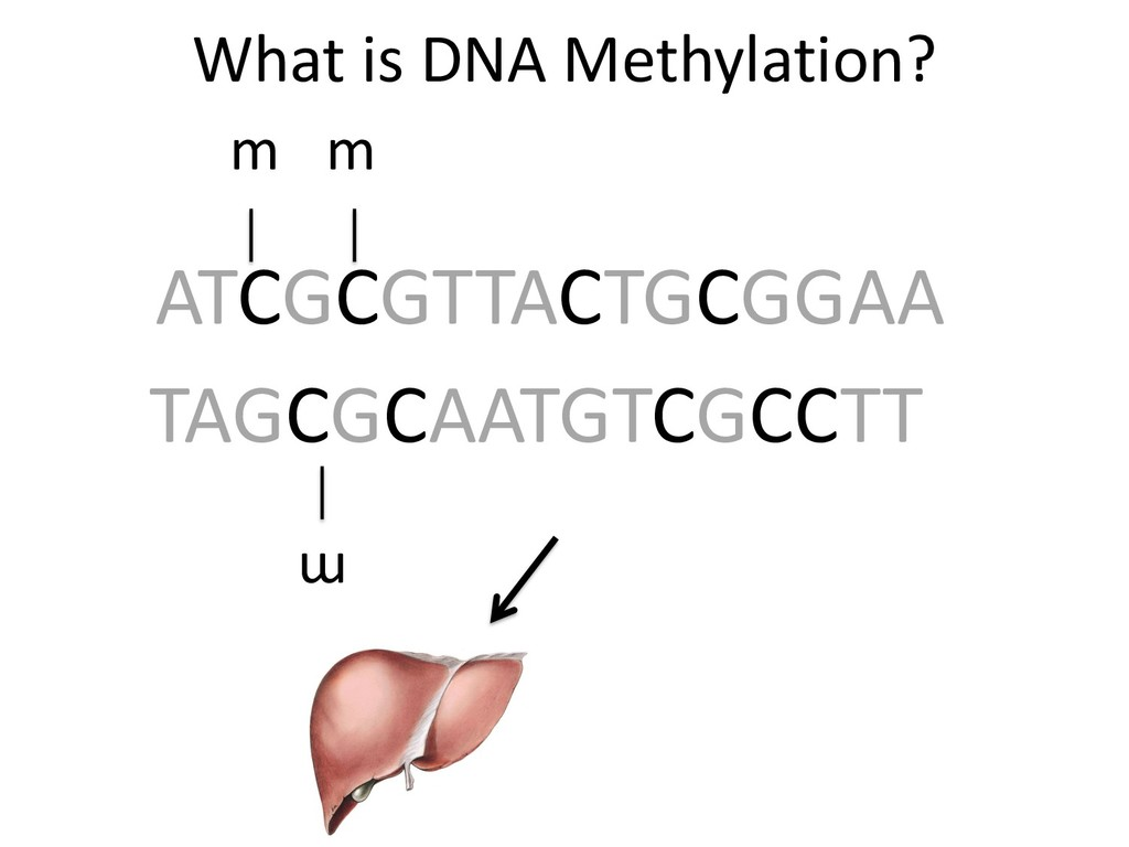 What is DNA Methylation? ATCGCGTTACTGCGGAA TAGC...
