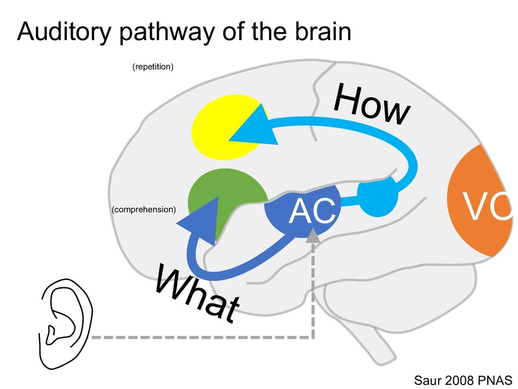 Saur 2008 PNAS Auditory pathway of the brain VC...