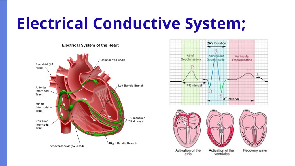 Electrical Conductive System;