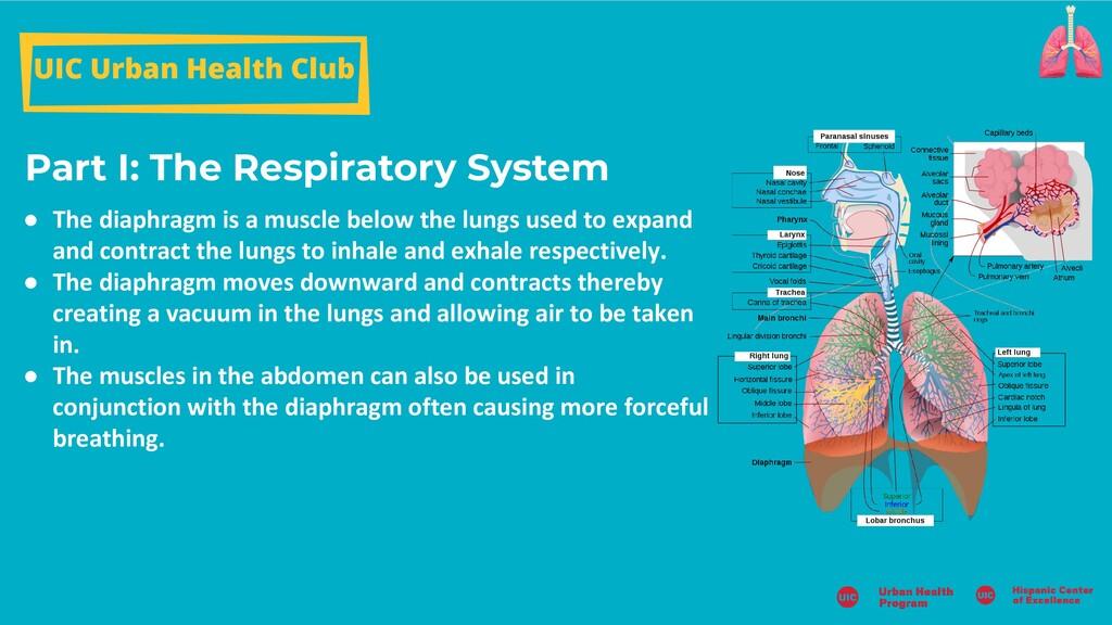 Part I: The Respiratory System UIC Urban Health...