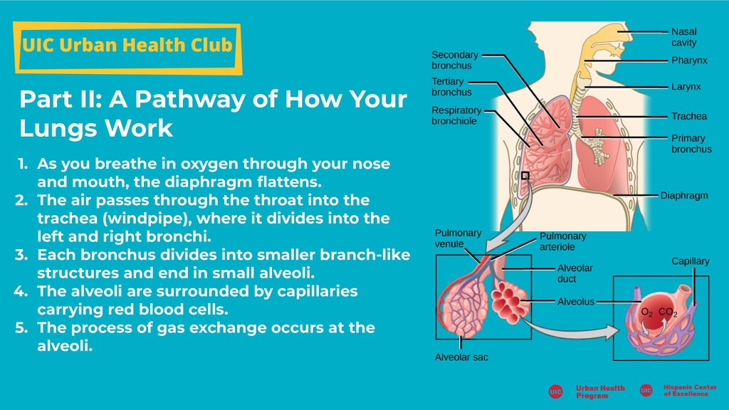 Part II: A Pathway of How Your Lungs Work UIC U...