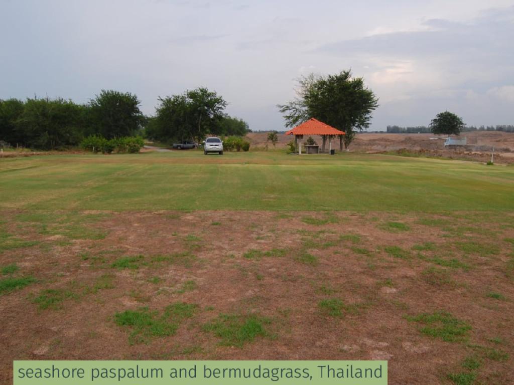 seashore paspalum and bermudagrass, Thailand