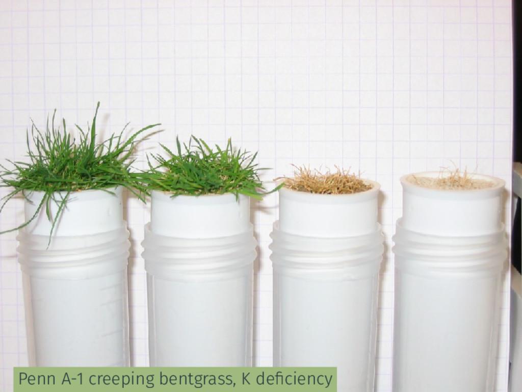 Penn A-1 creeping bentgrass, K deficiency