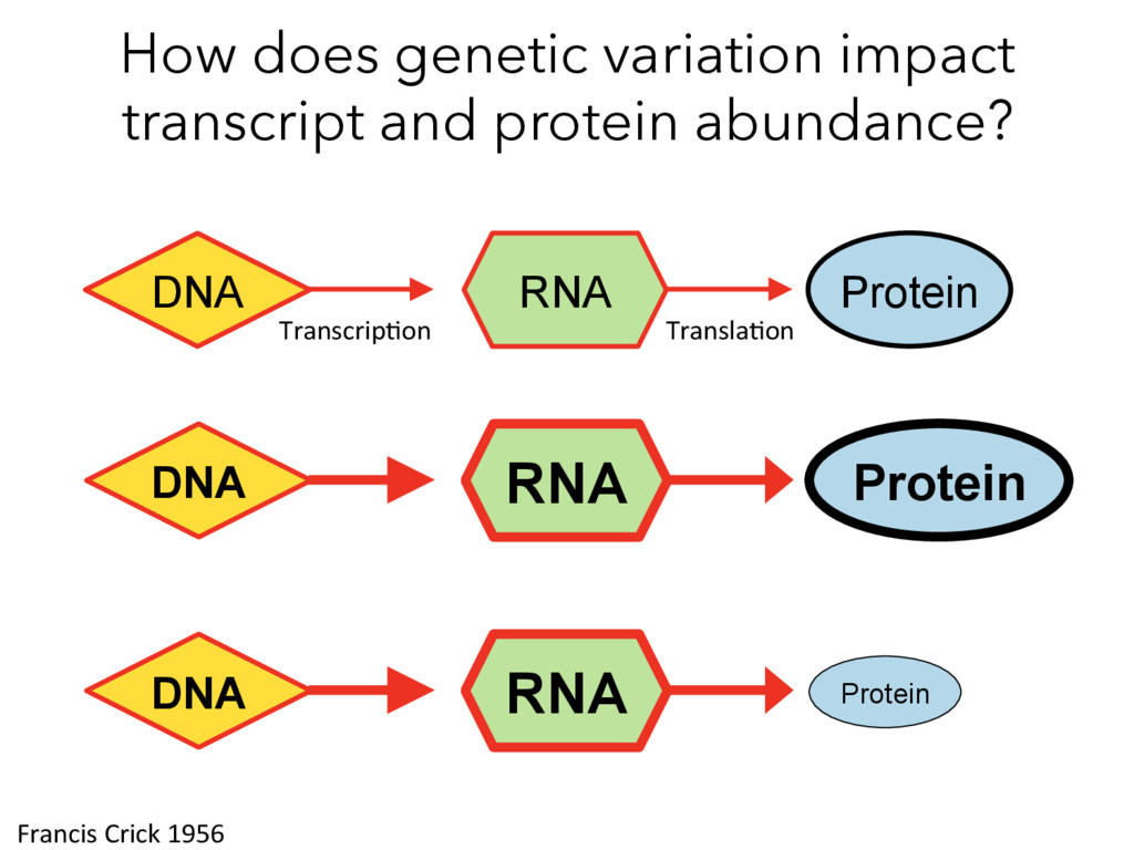 How does genetic variation impact transcript an...