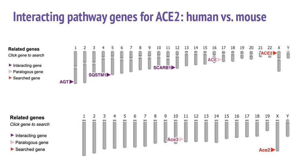 Interacting pathway genes for ACE2: human vs. m...