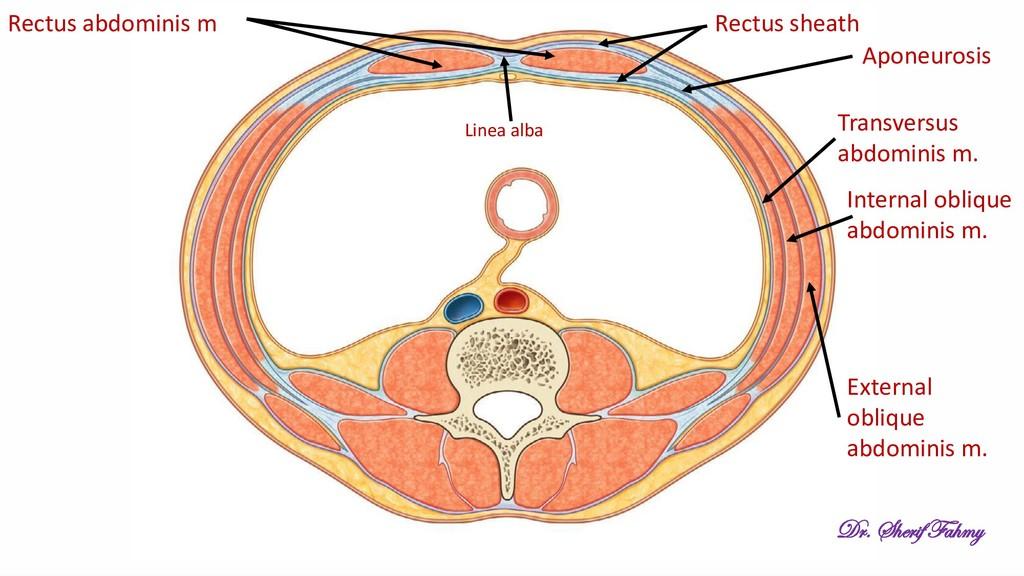 External oblique abdominis m. Internal oblique ...