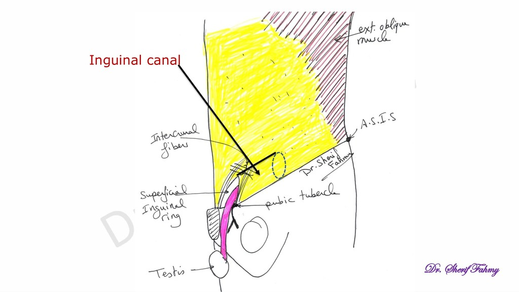 Inguinal canal Dr. Sherif Fahmy