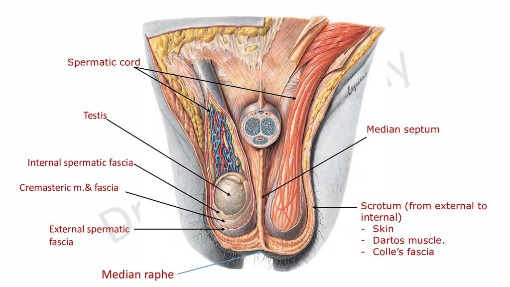 Scrotum (from external to internal) - Skin - Da...